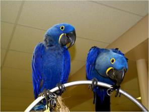 Pair Hyacinth macaw birds for sale