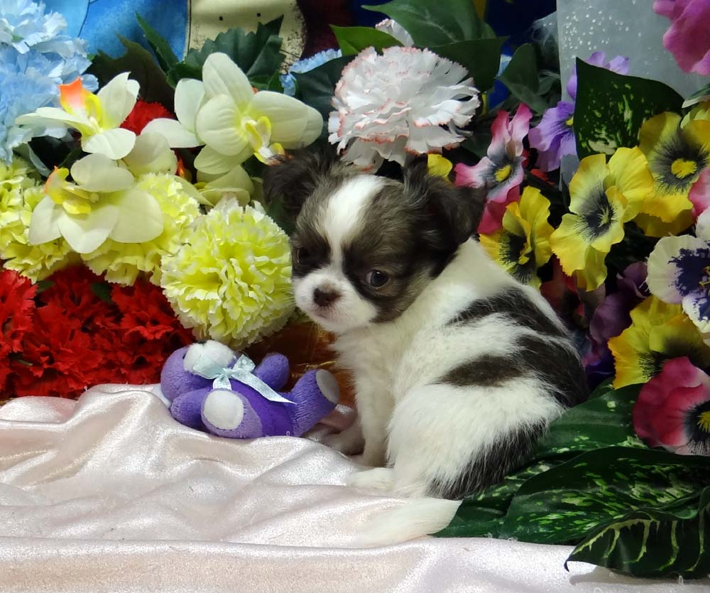 Chihuahua Long Coat Puppies Litter trained CKC/AKC REG PB ( Tinys )
