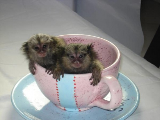 Intelligence Baby marmoset monkeys