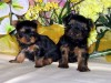 Litter Trained Yorkshire Terrier Puppies for sale