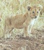 Cheetah cubs,white lion cubs and orange bengal tiger cubs available