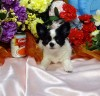 Litter Trained Chihuahua Long Coat Puppies