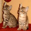 Savannah kittens free to good homes