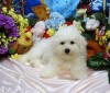 Litter Trained Reg Bichon Frise Puppies