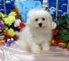 Litter Trained Bichon Frise Puppies for sale